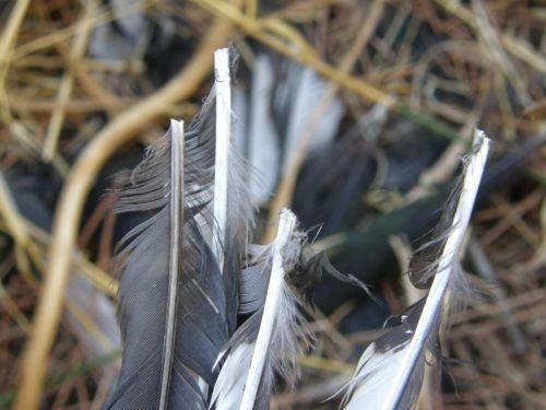 Cañones de plumas de urraca
