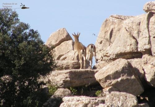 De su fauna, salvo alguna lavandera y los buitres, únicamente pude avistar un par de hembras de cabra montés