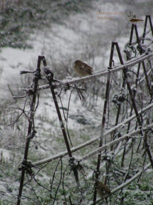 Gorriones bajo la nieve.