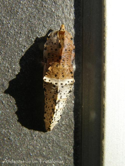 Pieris brassicae (crisálida).