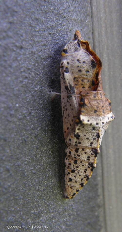 Crisálida de Pieris brassicae donde puede observarse el elemento de sujeción a la pared.