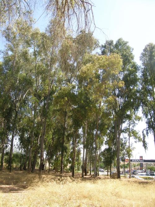 Vista parcial de los eucaliptos de la calle.