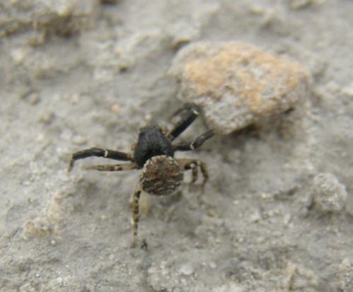 Araña indeterminada