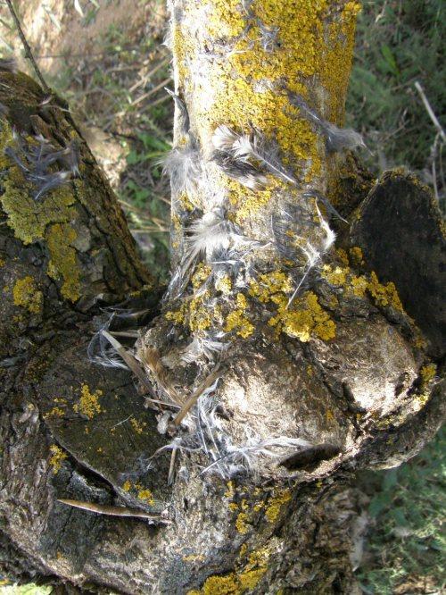 Tronco del otro olivo, tras los días de lluvia pasados, con las plumas adheridas.