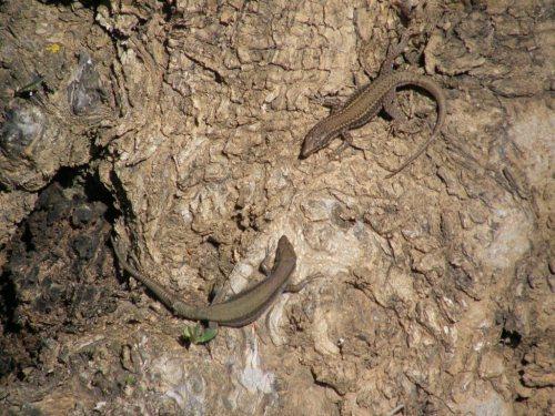 El lagarto y la lagarta con delantalitos blancos...