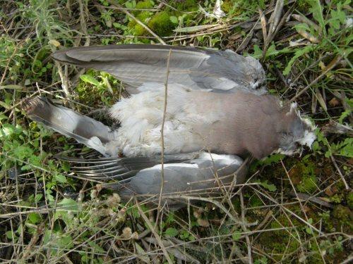 Restos de la paloma. Es de reseñar que tenía parte de la cola arrancada de tiempo atrás, mostrando las nuevas plumas que empezaban a crecer.