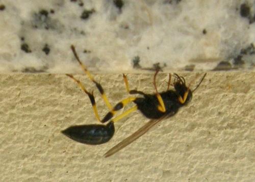 Sceliphron spirifex