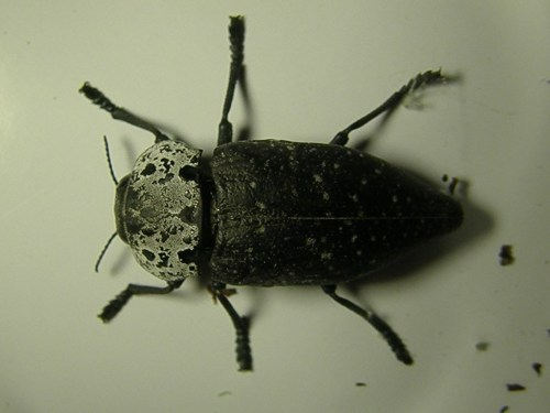 Capnodis tenebrionis