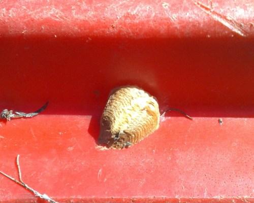 Ooteca de mantis