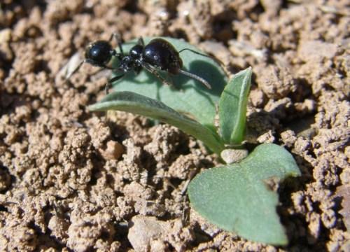 Una laboriosa hormiga.