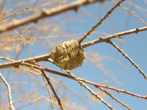 Ooteca de Mantis religiosa