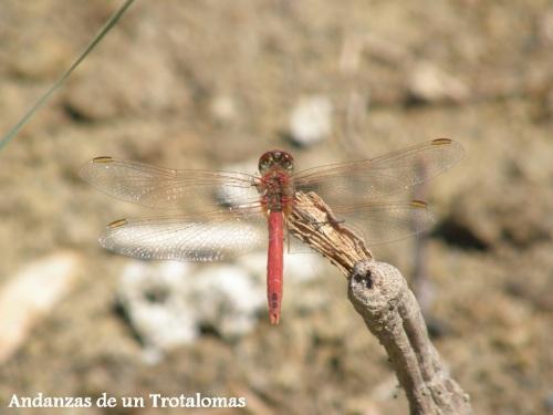 Sympetrum fonscolombii macho